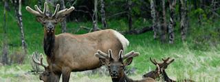 estes-park-elk