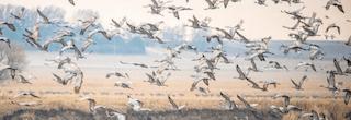 nebraska-crane-migration