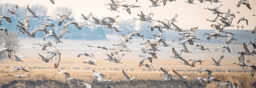 Feast Your Eyes On 5 Amazing Images Of This Year's Great Sandhill Crane Migration